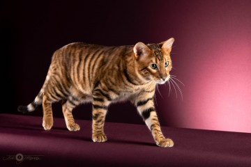 RW SGC Tigervisions Comaro