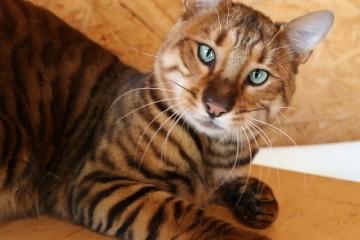 CH Tigervisions Amuritus