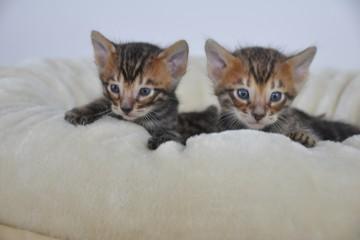 Тайгервиженс котята