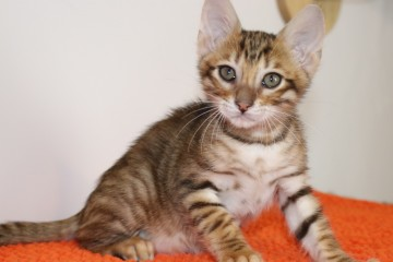 Tigervisions Kitten